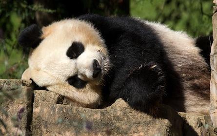 China Eating Pandas