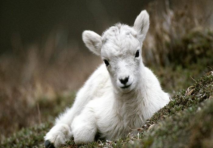 goat baby chvivo