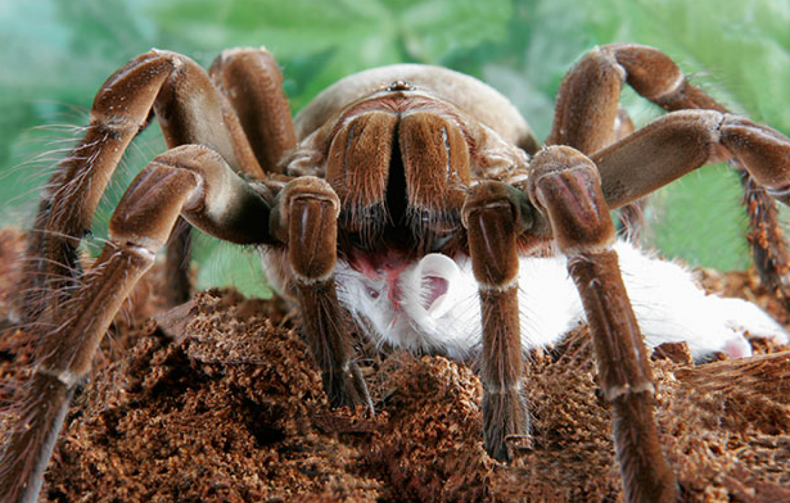 World's Largest Spider is From South America, and It's the ...