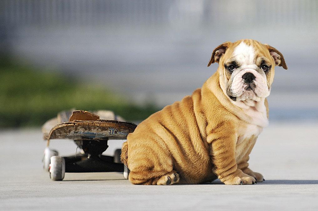 Skateboarding bulldog Tillman dies of heart problems at age 10 ...