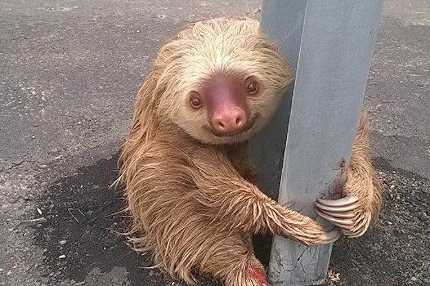 ecuador sloth