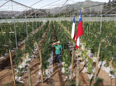 Chile Is Now Home to the First and Largest Medical Marijuana Field in Latin America