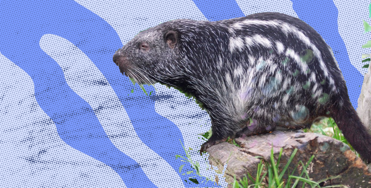 "That Viral ""Shower Rat"" Is Actually a Peruvian Pacarana"