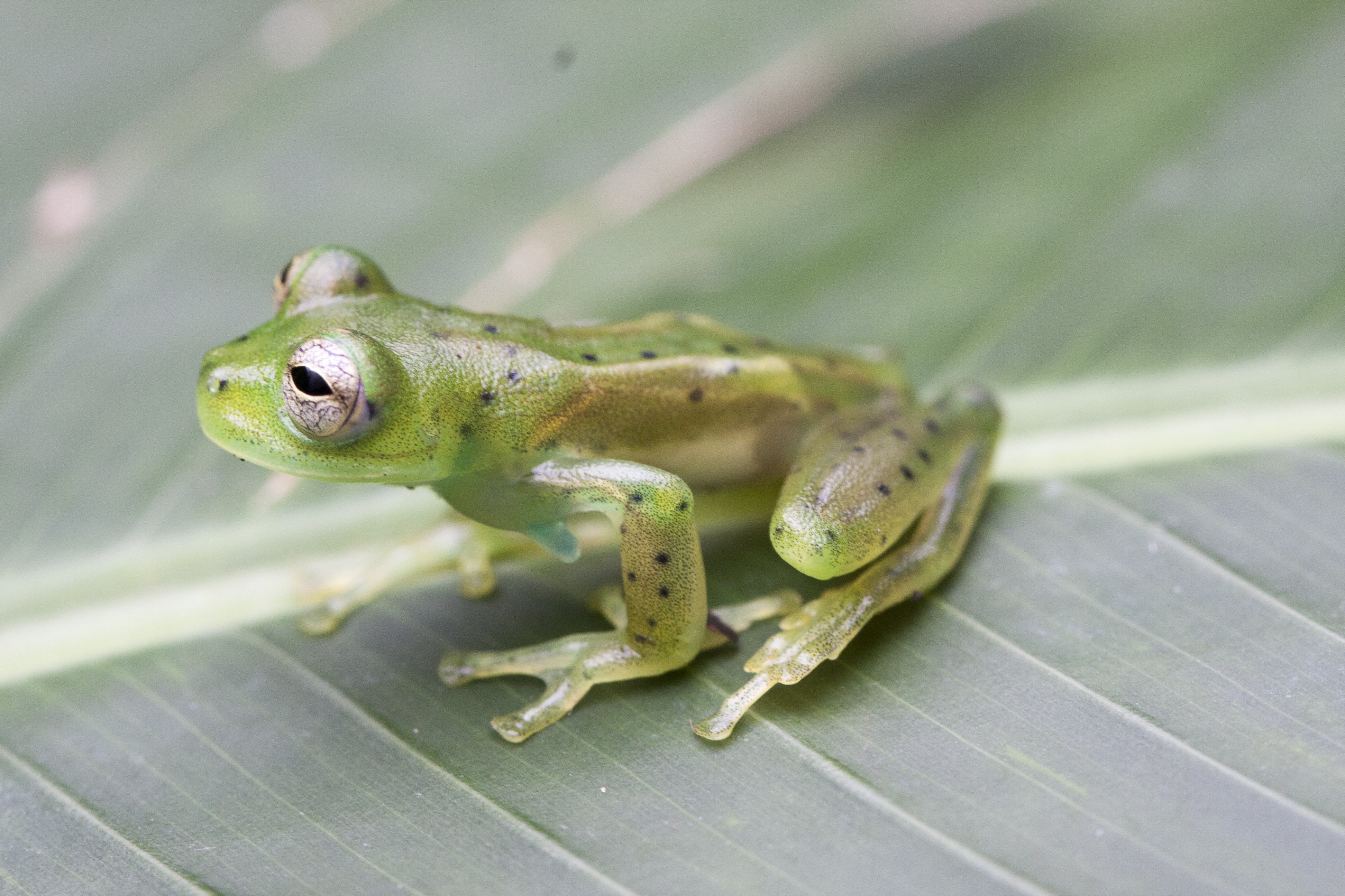 Bolivia's Rare 'Glass Frogs' Seen for the First Time in Almost Two Decades