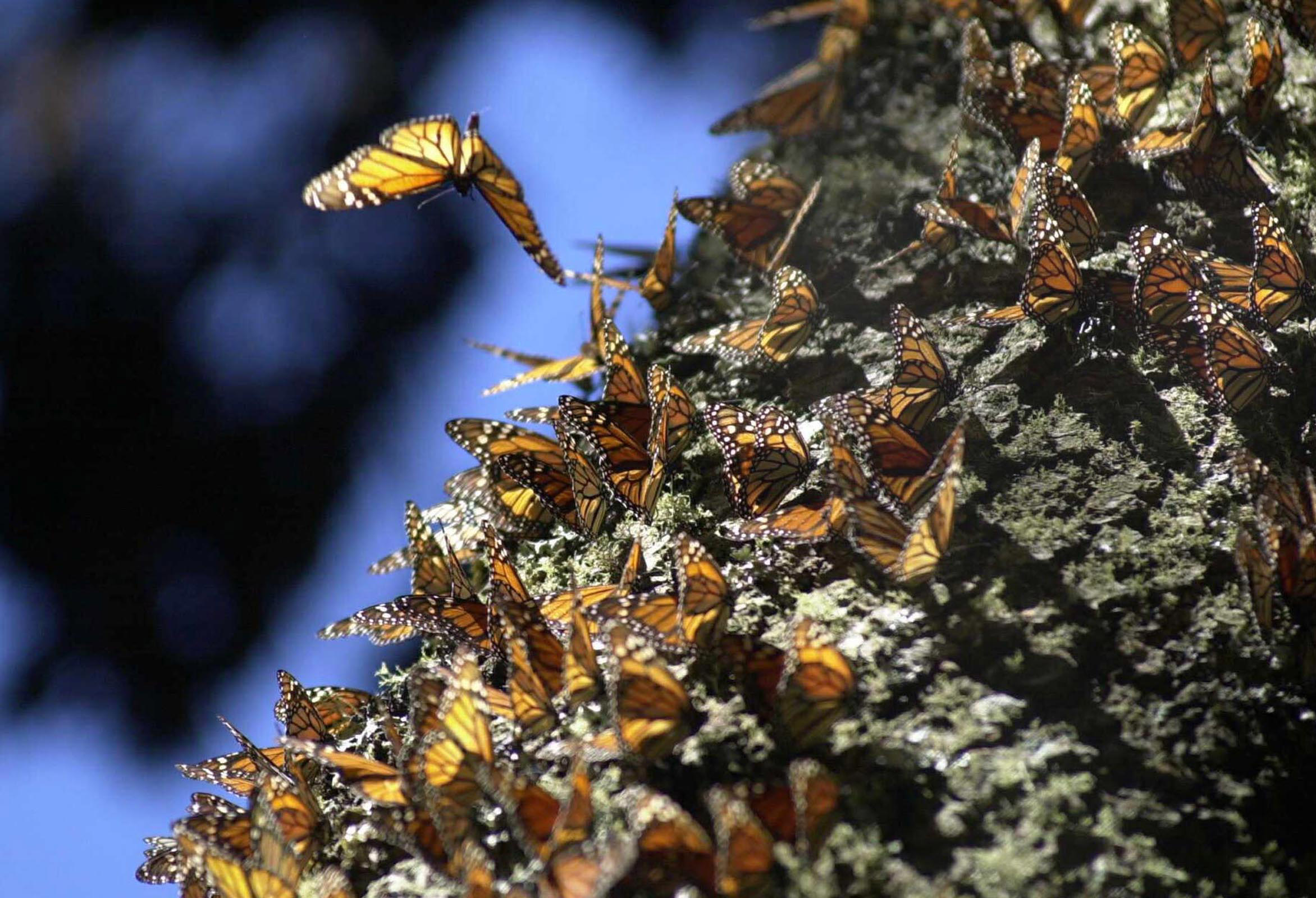 In Central Mexico, Climate Change Poses a Threat to the Treasured Monarch Butterflies